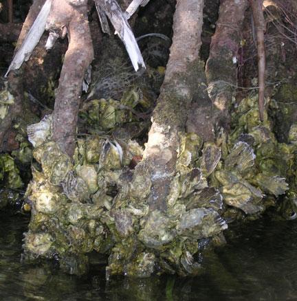 molluskcluster