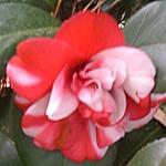 bicolorcamellia