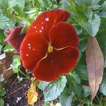 redpansy