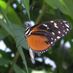 HecaleLongwing
