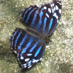 Mexican_Bluewing